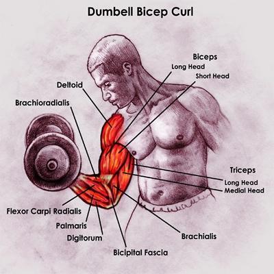 Anatomy-Bicep_r1_c11