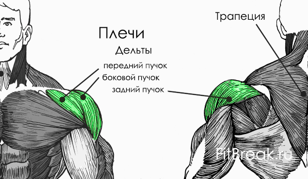 plechi-anatomiya1