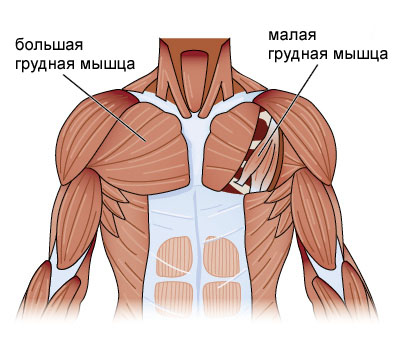 chest-anatomy1