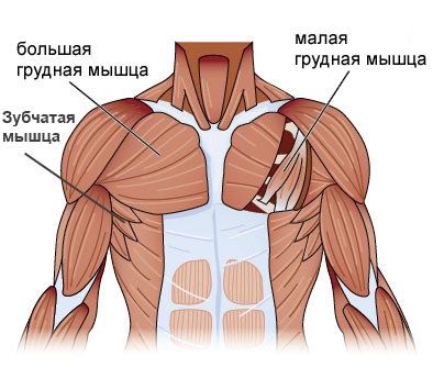 chest-anatomy2